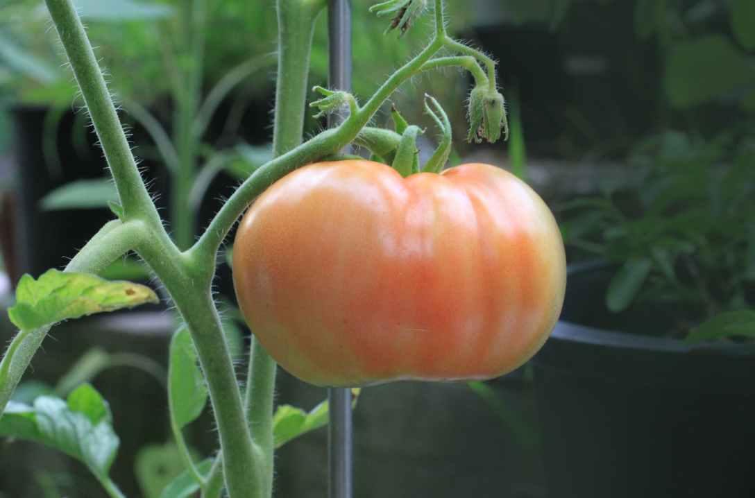 orange tomato