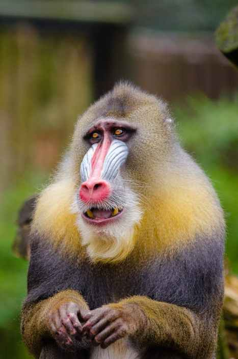 yellow and black baboon